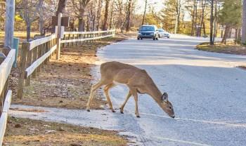 Deer with oncoming Car