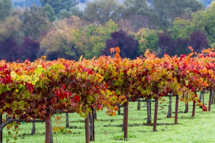 Wine Leaves Changing in Fall
